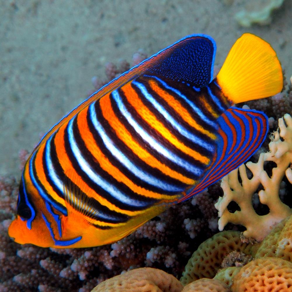 Angelfish Marine
