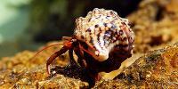 Marine Crabs