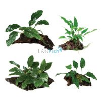 Assorted Anubias On Driftwood Pack