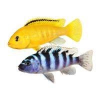 Assorted Malawi Cichlid 3.5-4cm