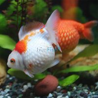 Assorted Pearl Scale Ping Pong 7cm