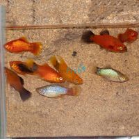 30x Assorted Platy Package