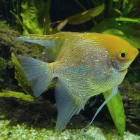 Assorted Pearlscale Angelfish 4.5cm