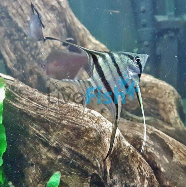 Peruvian Altum Angel Fish 4cm