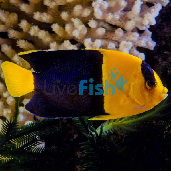 Bi-colour Angelfish - Medium