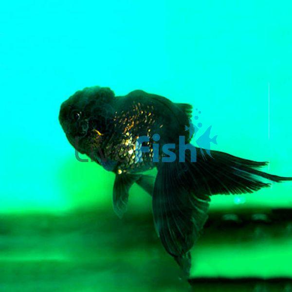 Black/ Bronze Oranda Goldfish 12cm