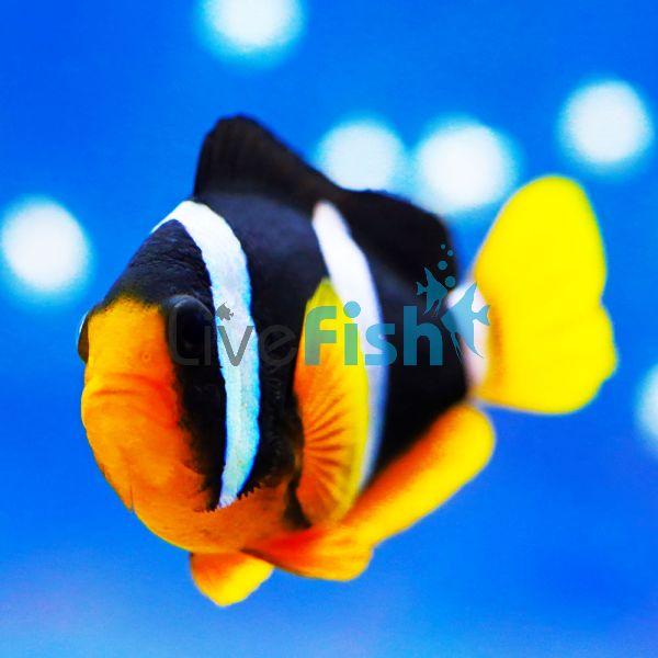 Clownfish Clarkss - Indo Pac - Medium