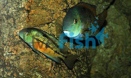 Parrot Cichlid 5cm