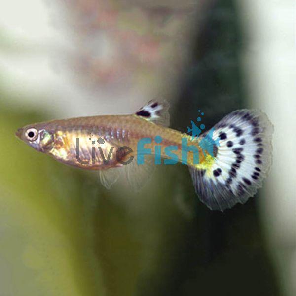 Female Guppy 3.5cm