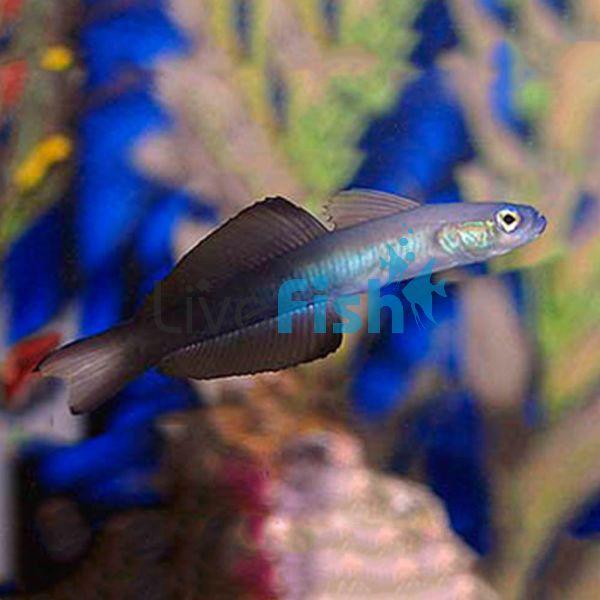 Black Scissortail Dartfish Goby LGE