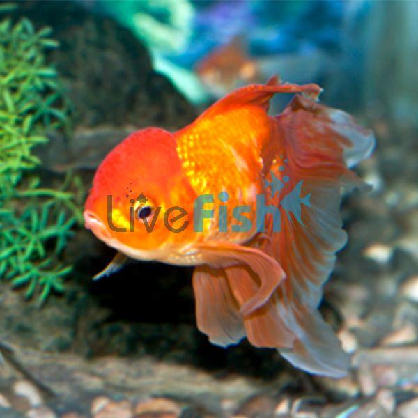 Red Oranda 9cm