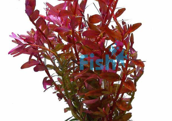 Rotala Colorata Tissue Culture 5 Plants