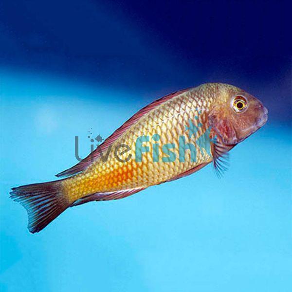 Tropheus Moliro Red 3.5cm