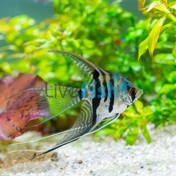 Assorted Veiltail Angelfish 4cm