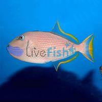 Female Triggerfish Blue Jaw Med