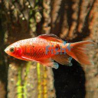 Longfin Rosy Barb Male 5.5cm